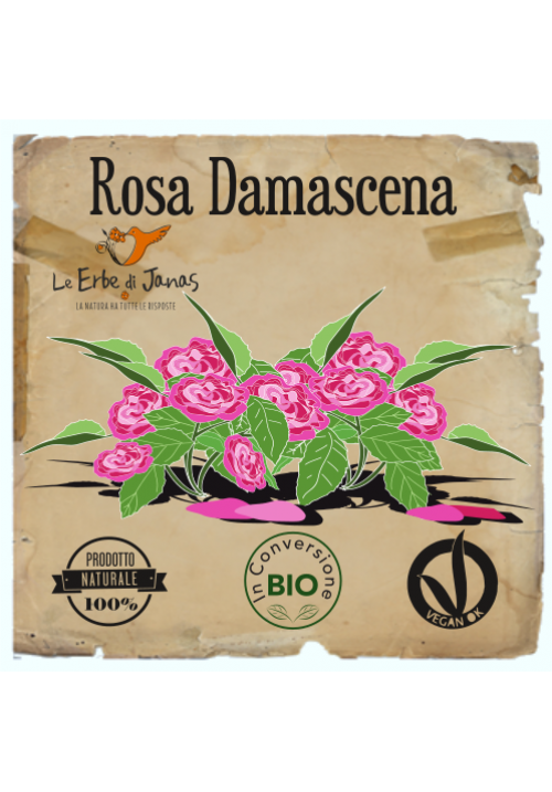 Rosa Damascena